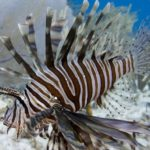 Lion Fish in Playa del Carmen