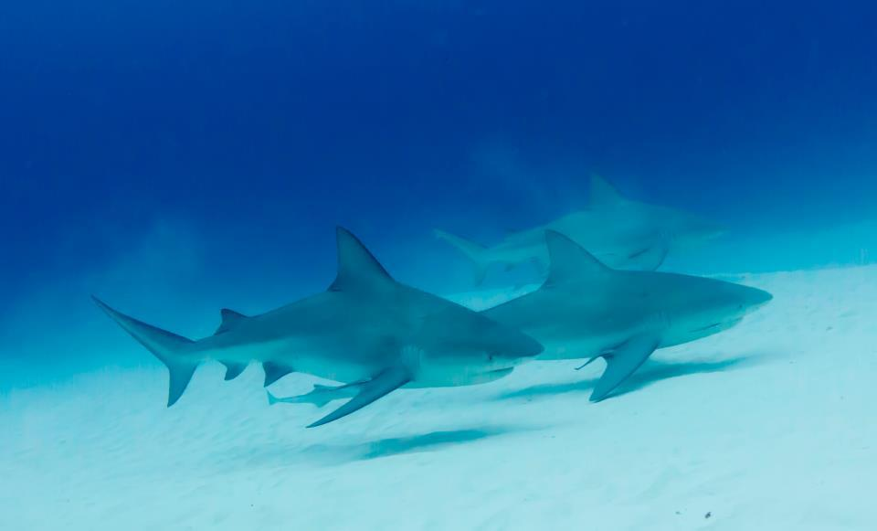 Mexico blue dream bull shark diving playa del carmen - Dive shop mexico ...